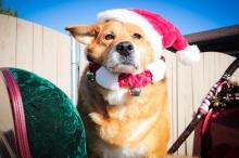 A stoic Santadog.